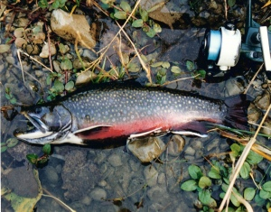 Male brook trout in spawning colors caught & released from a fall Pine Ridge stream.